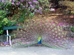 Peacock at the Park