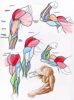 Muscle Reference- ARM