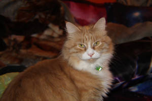 Axel~ 4 year old Maine Coon Mix
