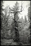 Oak by Vitskog
