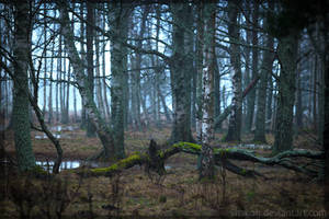 Birch forest by Vitskog