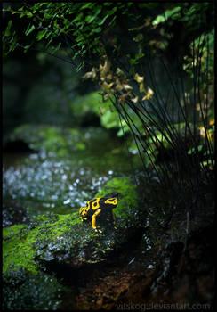 Yellow-banded Poison Dart Frog II