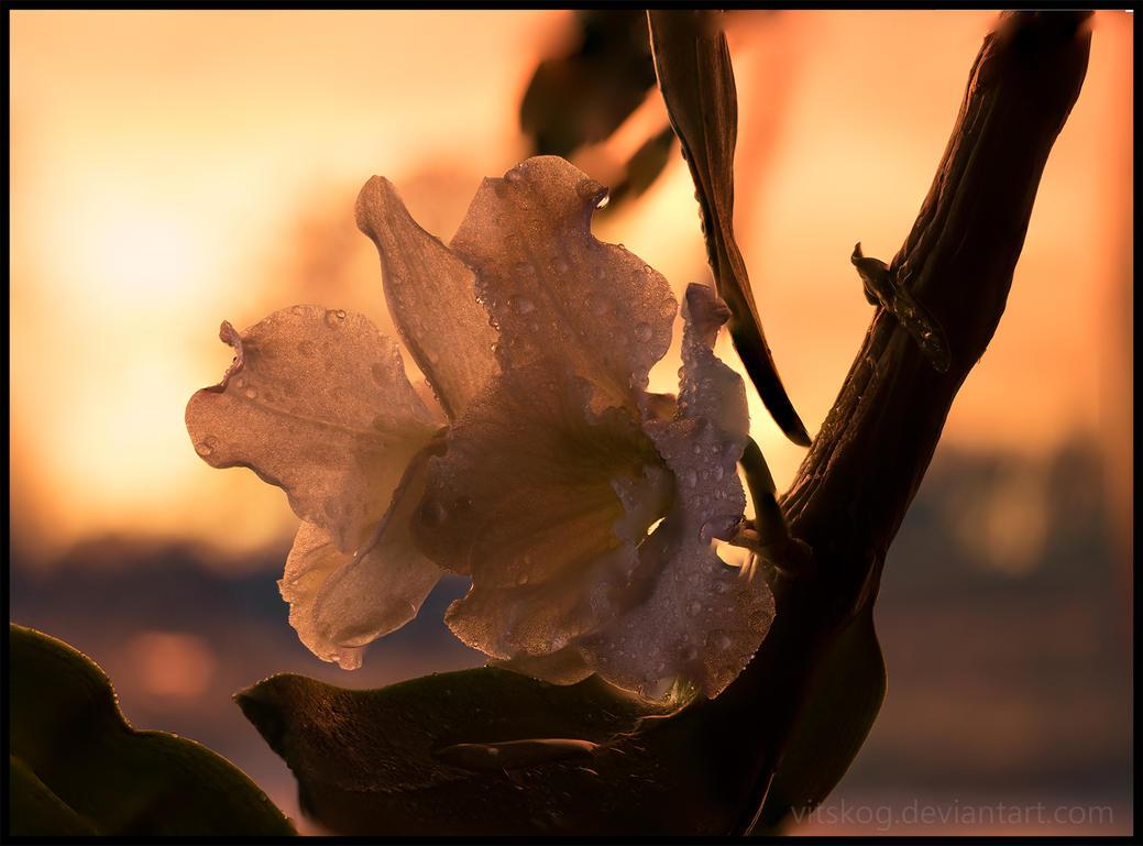 Dendrobium Nobile orchid by Vitskog