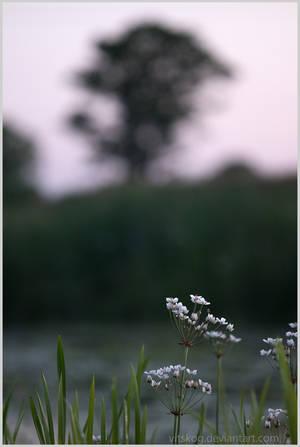 Flowering rush by Vitskog