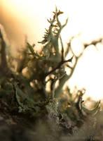 Lichen in morning light