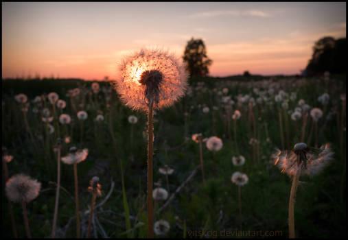 Dandelion inflorescence