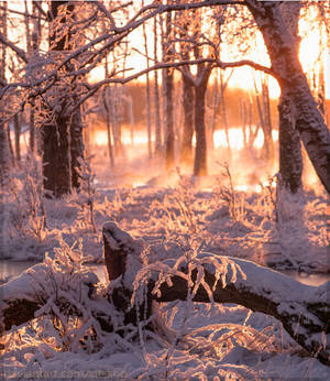 Winter Forest III