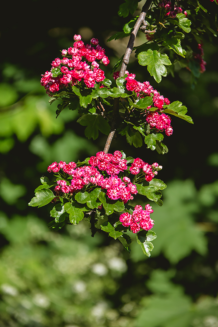 Crimson cloud hawthorn tree by jameslawton
