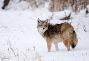 Coyote In Snow by JestePhotography