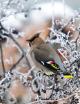 Bohemian waxwing - Frosted Berries