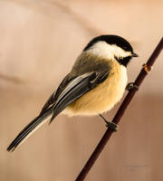 Chickadee - Out on a Limb by JestePhotography