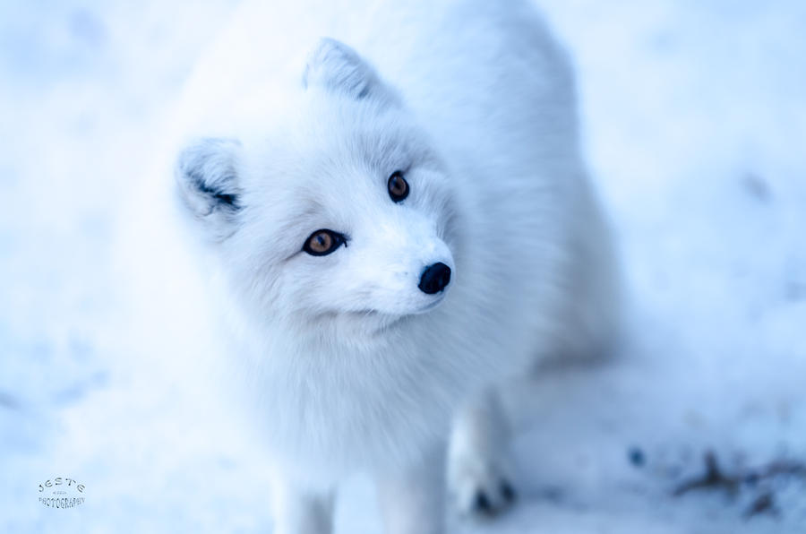 Cute arctic fox sleeping