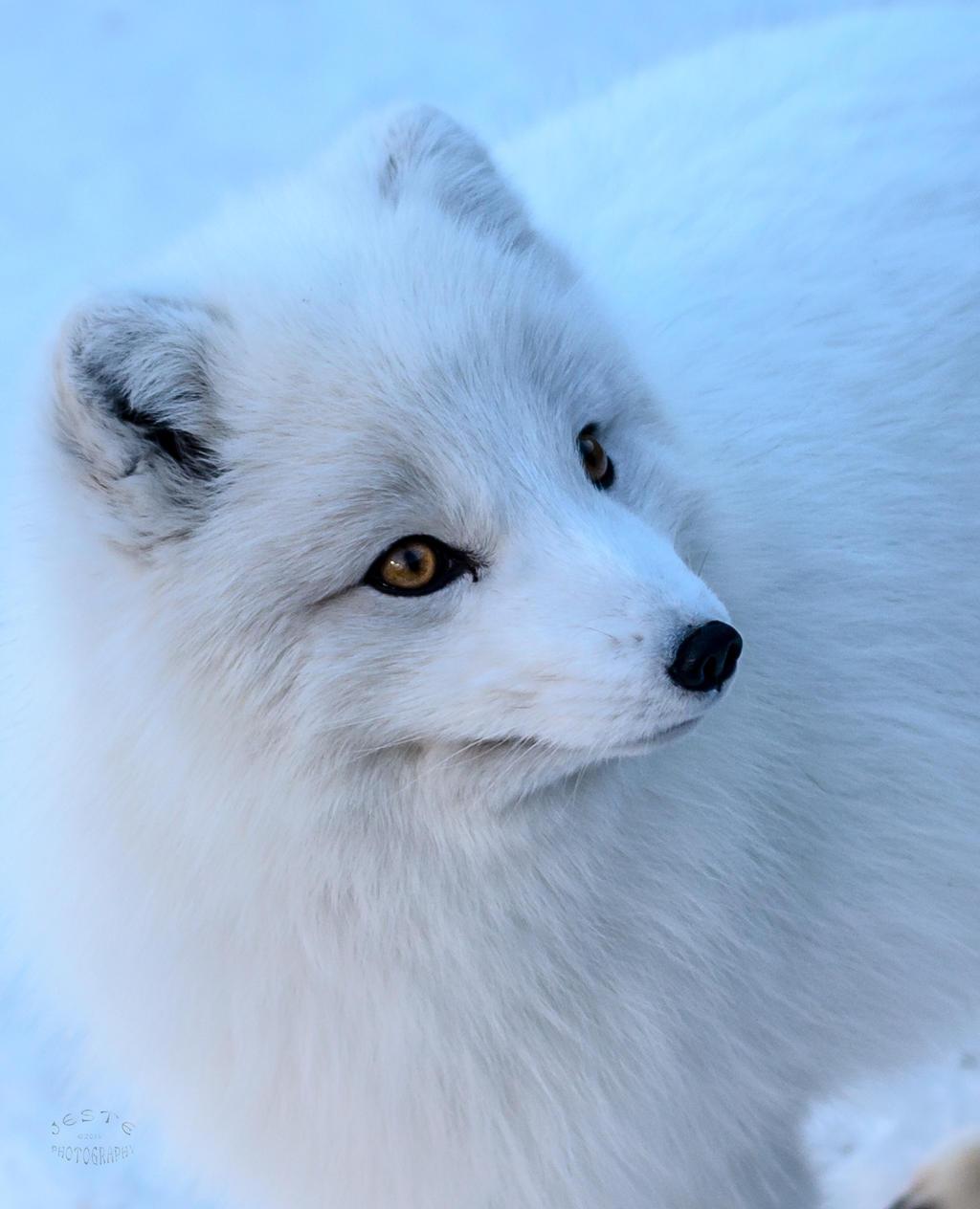 Arctic Fox - Cool Beauty by JestePhotography