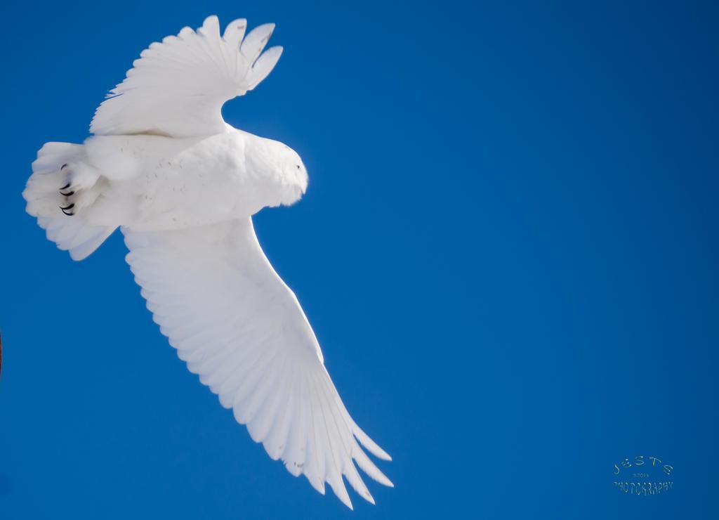 Snowy Owl - Wild Blue Yonder by JestePhotography