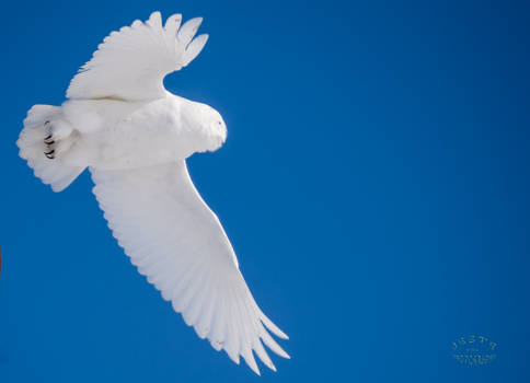 Snowy Owl - Wild Blue Yonder