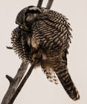 Northern hawk-owl - Nap Time