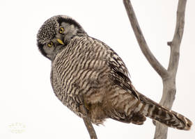 Northern hawk-owl - Hey There