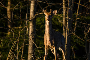 White tailed buck - Morning Light by JestePhotography
