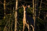 White tailed buck - Morning Light