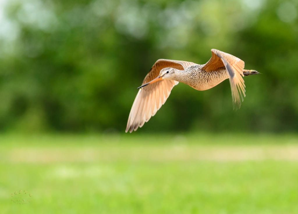 Marbled Godwit - Mach 1 by JestePhotography