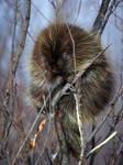 Porcupine-Bashful