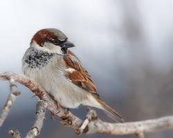 House Sparrow - Shoulder check