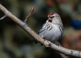 Common-Redpoll-Perky by JestePhotography