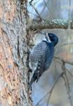 Black Backed Woodpecker - Female