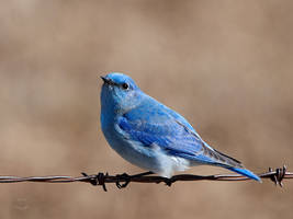 Mountain Bluebird - Favored Perch by JestePhotography