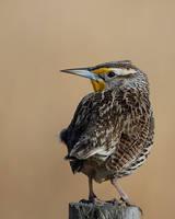 Western Meadowlark - Post Sitting by JestePhotography