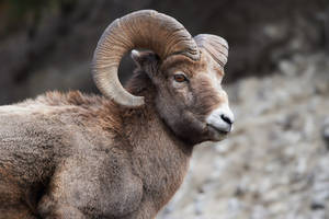 Big Horn Ram - Prince of The Mountain by JestePhotography