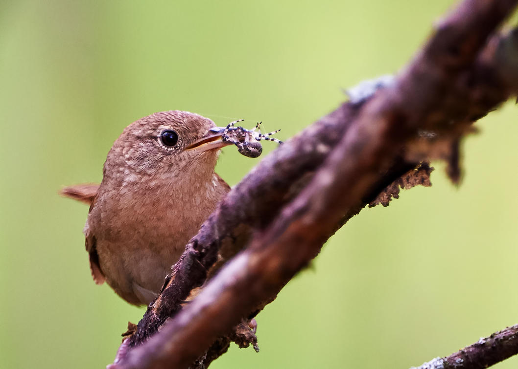 House Wren -The-Prize by JestePhotography