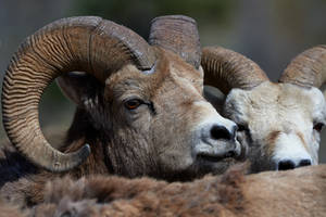Big Horned Sheep- A Herd's Eye View by JestePhotography