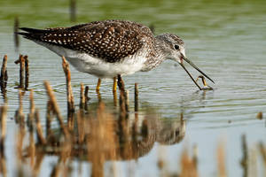Greater Yellowlegs-Snap it up by JestePhotography