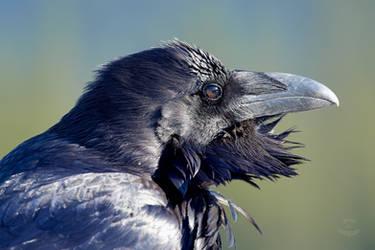 Raven - Windblown by JestePhotography