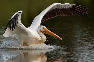 Pelican-Splash by JestePhotography