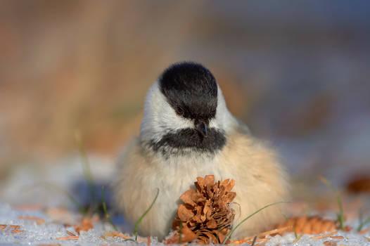 Black Capped Chickadee - Fluffed