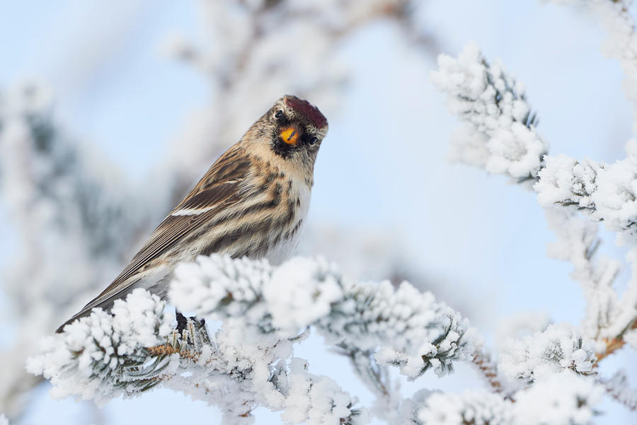 Common Redpoll - What!? by JestePhotography
