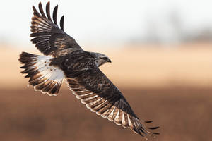 Rough Legged Hawk - Flight by JestePhotography