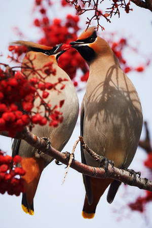 Bohemian Waxwings - The Lovers by JestePhotography
