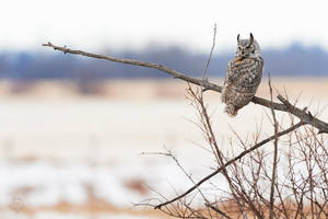 Great Horned Owl-Hunting perch by JestePhotography