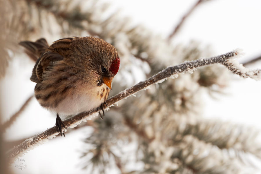 Common Redpoll - Contemplation by JestePhotography