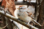 American Tree Sparrow - Spring Arrival