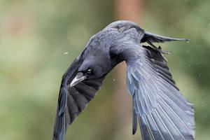 The Raven - Dynamic by JestePhotography