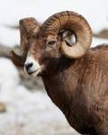 Big Horned Sheep - Big Boss