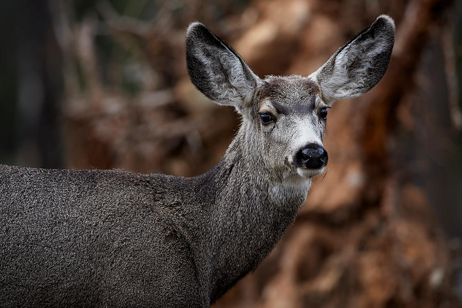 Forest Mule Deer by JestePhotography