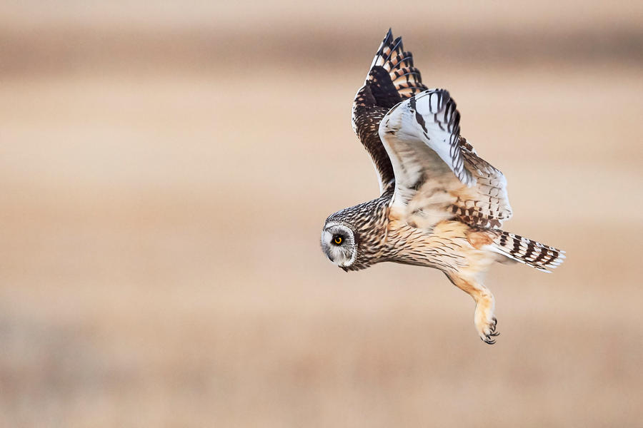 Short Eared Owl - Prowl by JestePhotography