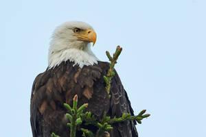 Bald eagle - Patience