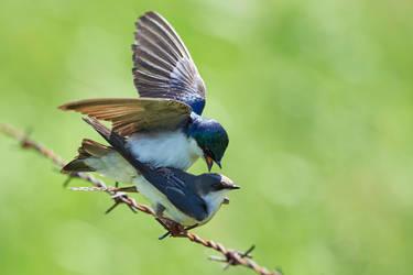 Tree Swallow Tango by JestePhotography