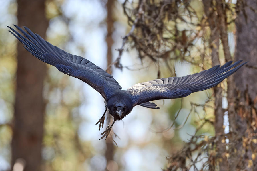 Raven - Incoming by JestePhotography